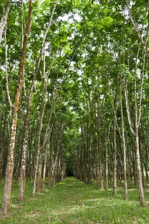 rubber tree plantation is one of the main agricultural business of the thai rubber farmers of southern thailand photo