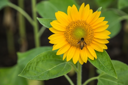 Sunflower and working bee in the garden