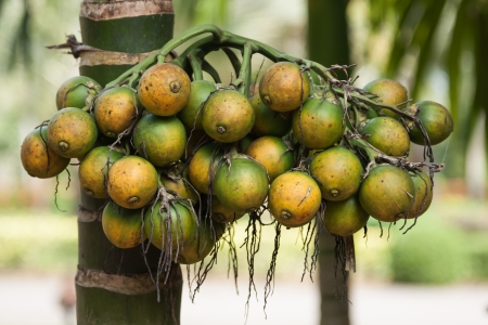 betel palm fruit and betel nut, also known as Pinang or Areca nut, is the seed of the Pinang Palm photo