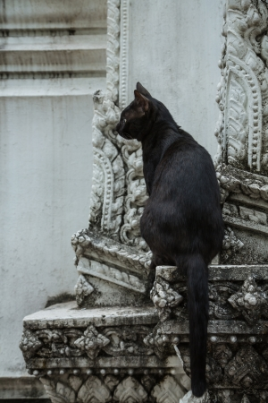 moggi: black cat thailand living in temple