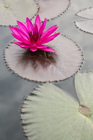lirio acuatico: rosa flor de loto