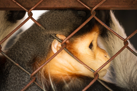 confined: animal confined in cages with sad eyes