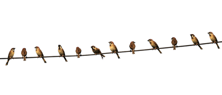 group of birds on a power  line isolated on white background