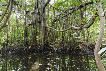 watercourse: banyan tree and watercourse in the jungle