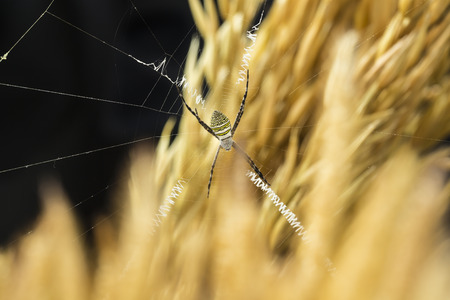 spider on the spider web with barley and dark background