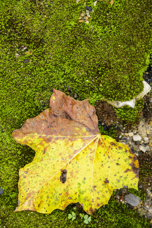 dry leaf fall on moss board Stock Photo