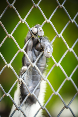 incarcerated: monkey hand hangs on the cage fence