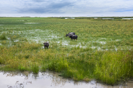 Water buffalo swarms is eating grass in wetlands abound with grass and water plants