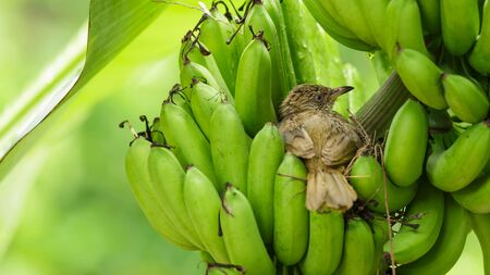 Streak-eared Bulbul with hatched baby bird in brown nest on the banana bunch after rain