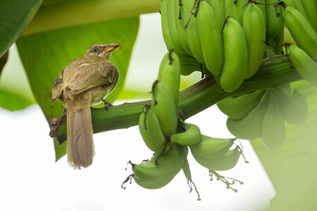 Streak-eared Bulbul (Pycnonotus blanfordi) perched on banana bunch branch with insect in its mouth to be fed to the baby birds