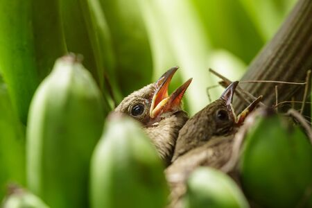 Baby streak-eared bulbul of birds in brown nest on the banana bunch