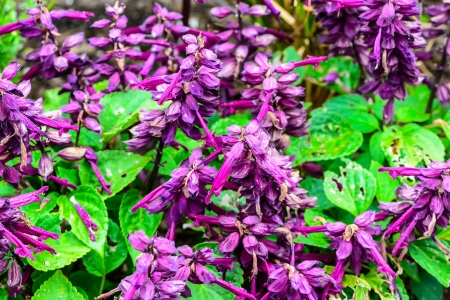 syringa: Purple flowers of lilac with leaves