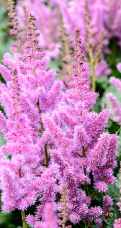 Pink-purple panicles of bloom astilby photo