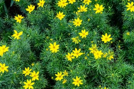Daisy kwiaty Żółte kwiaty