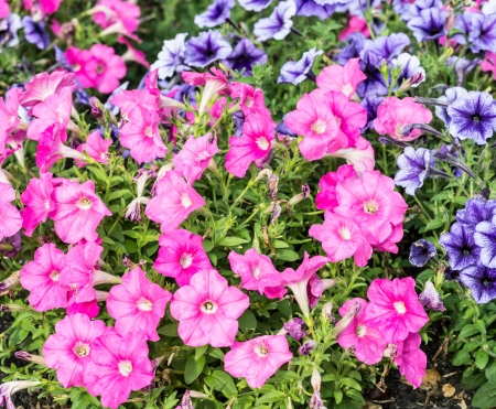 An image of Beautiful pink and violet flowers photo