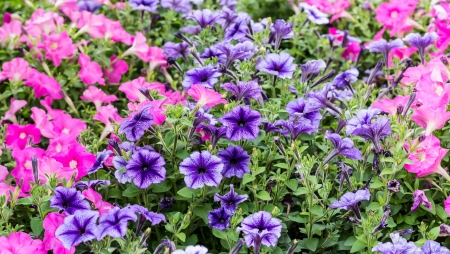 An image of Beautiful pink and violet flowers
