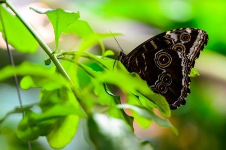 Bulls Eye Silk Moth (Gonimbrasia zambesina)