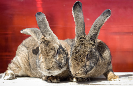 rabbit: Two Flemish giant rabbits red background