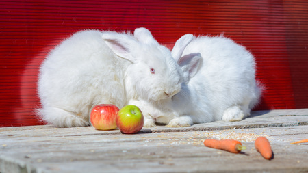 redeye: white rabbit sitting on wooden table. A red background. Stock Photo