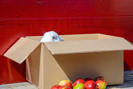 redeye: white rabbit sitting on cardboard box on wooden table. A red background.