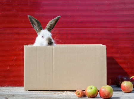 Californian white rabbit sitting on a wooden table. A red background. Stock Photo