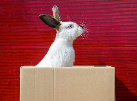 redeye: Californian white rabbit sitting on a wooden table. A red background. Stock Photo