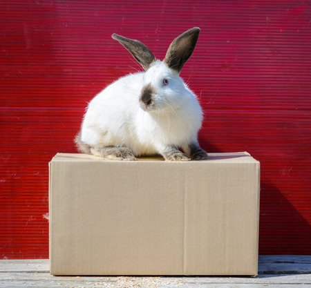 californian: Californian white rabbit sitting on a wooden table. A red background. Stock Photo