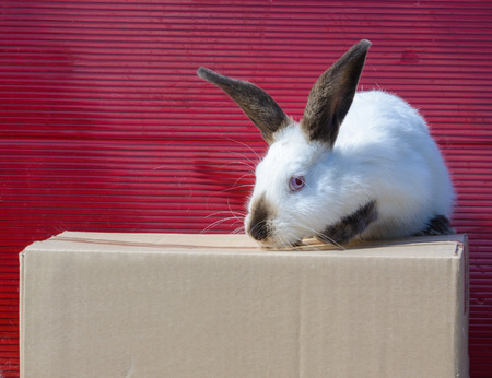 californian: Californian white rabbit sitting on a cardboard box. A red background.