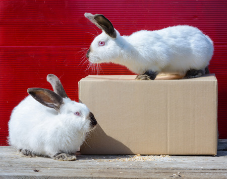 californian: Two Californian white rabbit sitting on a wooden table. A red background.