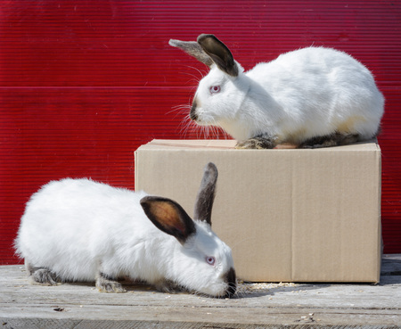 Two Californian white rabbit sitting on a wooden table. A red background.