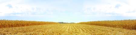 corn stalks: Panorama of dried golden corn fields, the sun at the center, sides of corn stalks. Blue sky.