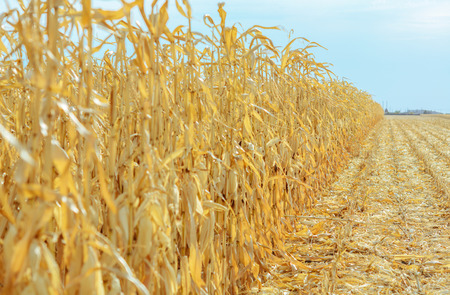 champ de mais: Ripe corn in the field is dry and ready for harvest