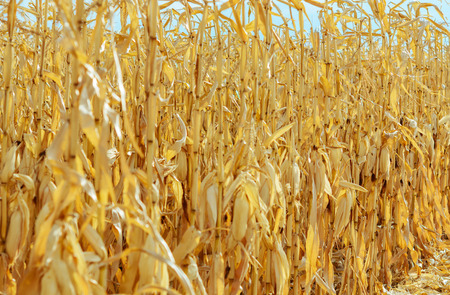 dryed: Ripe corn in the field is dry and ready for harvest