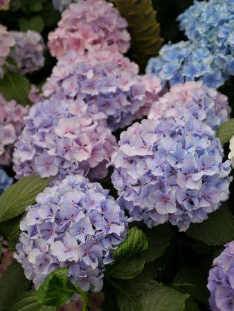 Purple and Blue Hydrangeas, Melbourne, Australia