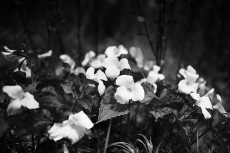 trillium: Black and white of trillium flowers Stock Photo