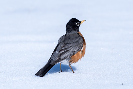 A north American robin standing in the snow after a snow storm.  North American robin is the state bird of Wisconsin