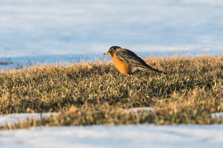 A north American robin standing in the grass with snow around looking for food after a snow storm.  North American robin is the state bird of Wisconsin