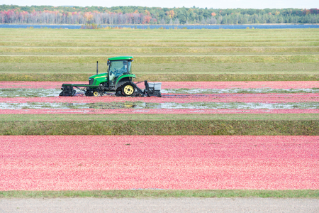 Warrens, Wi - 4 October 2018:  A John Deere mounted with a harvest harrow is going through a cranbery marsh seperating the cranberry from the vine.