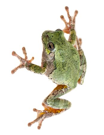 A Gray Treefrog hyla versicolor on an isolated background.