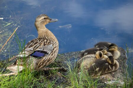 duck with ducklings on the bank
