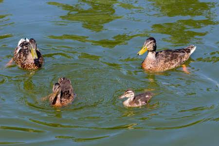 Wild ducks swim in a lake in a city park.