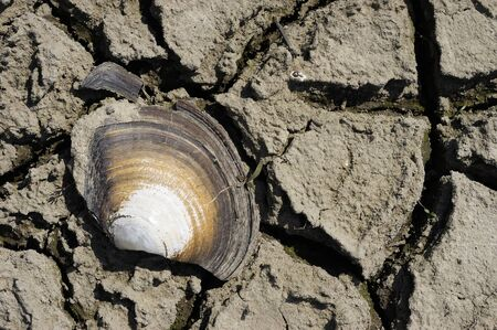 Cracked Seashell. Freshwater clam residue. Part of a huge area dried land suffering from drought - in cracks. Dry water reservoir. Natural drought concept: dried cracked earth soil ground texture background. Rough land dry crack erosion in the ground. Dry clay soil texture, natural floor background.