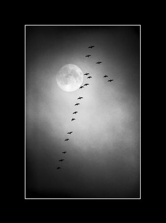 Geese depart in a view of the moon photo