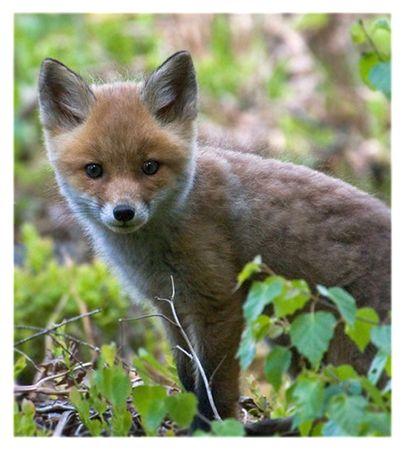 trustful: Trustful young fox