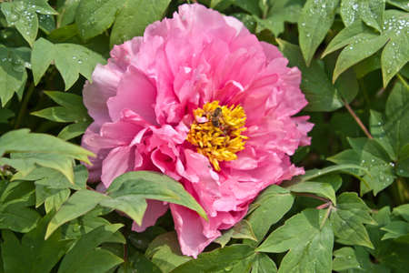 Peony surrounded by greenery Stock Photo