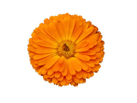 Gerbera jamesonii Bolus Stock Photo
