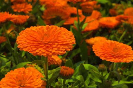 bolus: Gerbera jamesonii Bolus Stock Photo