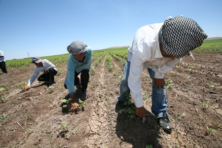 Diyarbakir,Turkey-June 4, 2008:Agricultural workers in cotton field,Mesopotamia. Stock Photo - 17377768