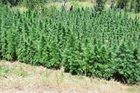 increasingly: A field of hemp or cannabis, grown increasingly as a mainstream crop in the Turke