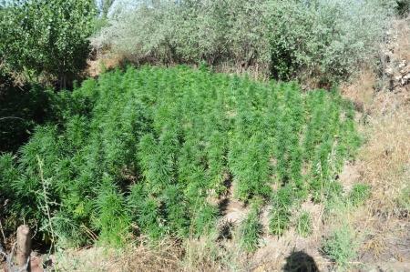 increasingly: Un campo di canapa o cannabis, cresciuta sempre pi� come una coltura tradizionale in Turchia